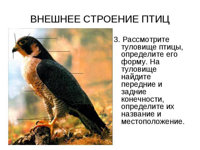 ВНЕШНЕЕ СТРОЕНИЕ ПТИЦ 3. Рассмотрите туловище птицы, определите его форму. На туловище найдите передние и задние конечности, определите их название и местоположение.