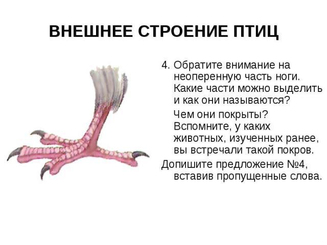 ВНЕШНЕЕ СТРОЕНИЕ ПТИЦ 4. Обратите внимание на неоперенную часть ноги. Какие части можно выделить и как они называются? Чем они покрыты? Вспомните, у каких животных, изученных ранее, вы встречали такой покров. Допишите предложение №4, вставив пропуще…