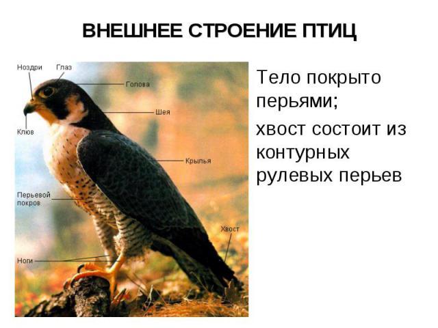 ВНЕШНЕЕ СТРОЕНИЕ ПТИЦ Тело покрыто перьями; хвост состоит из контурных рулевых перьев