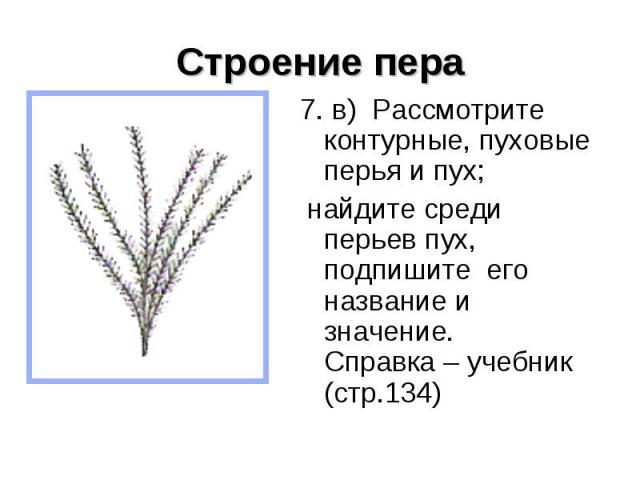 Строение пера 7. в) Рассмотрите контурные, пуховые перья и пух; найдите среди перьев пух, подпишите его название и значение. Справка – учебник (стр.134)