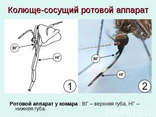 Колюще-сосущий ротовой аппарат Ротовой аппарат у комара : ВГ – верхняя губа, НГ