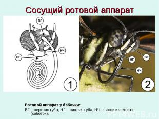 Сосущий ротовой аппарат Ротовой аппарат у бабочки: ВГ – верхняя губа, НГ – нижня