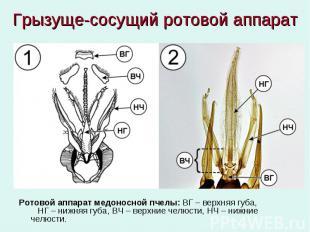 Грызуще-сосущий ротовой аппарат Ротовой аппарат медоносной пчелы: ВГ – верхняя г