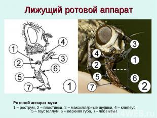 Лижущий ротовой аппарат Ротовой аппарат мухи: 1 – рострум, 2 – пластинки, 3 – ма
