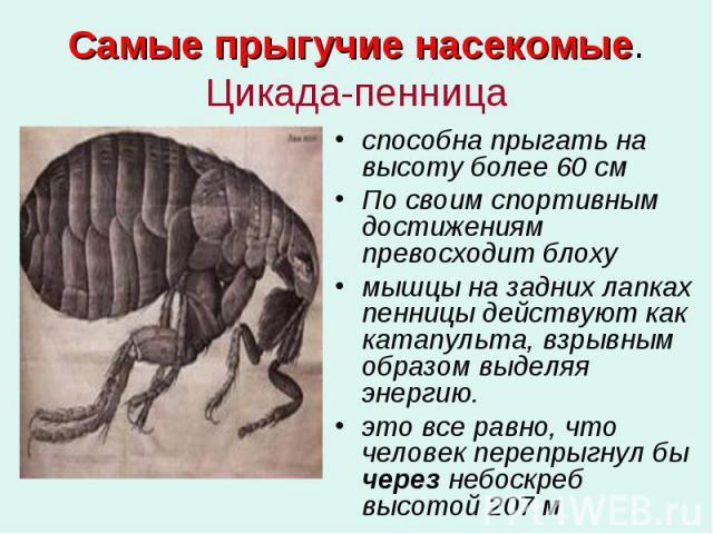 Самые прыгучие насекомые. Цикада-пенница способна прыгать на высоту более 60 см По своим спортивным достижениям превосходит блоху мышцы на задних лапках пенницы действуют как катапульта, взрывным образом выделяя энергию. это все равно, что человек п…
