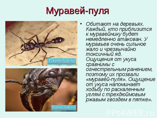 Муравей-пуля Обитают на деревьях. Каждый, кто приблизится к муравейнику будет немедленно атакован. У муравьев очень сильное жало и чрезвычайно токсичный яд. Ощущения от укуса сравнимы с огнестрельным ранением, поэтому их прозвали «муравей-пуля». Ощу…