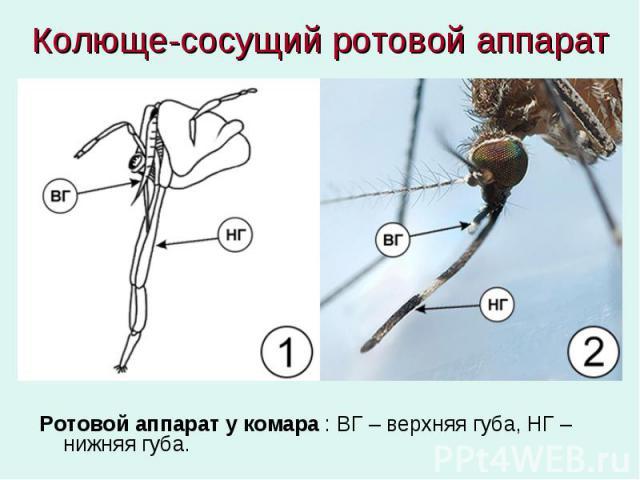 Колюще-сосущий ротовой аппарат Ротовой аппарат у комара : ВГ – верхняя губа, НГ – нижняя губа.