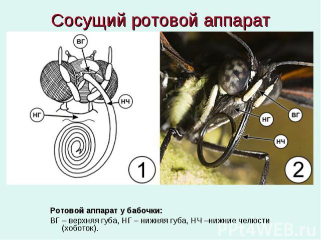 Сосущий ротовой аппарат Ротовой аппарат у бабочки: ВГ – верхняя губа, НГ – нижняя губа, НЧ –нижние челюсти (хоботок).
