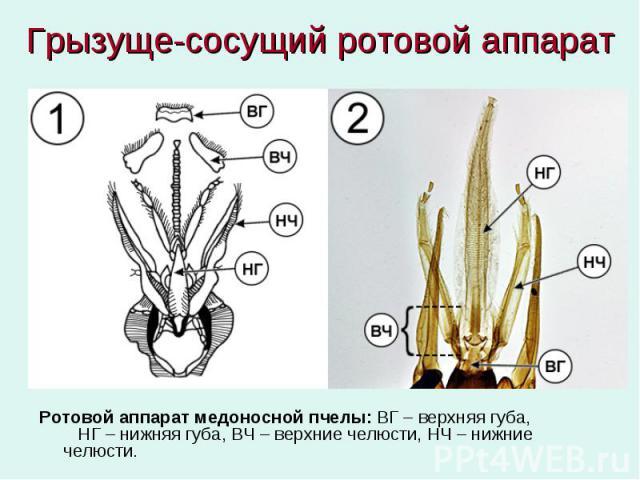 Грызуще-сосущий ротовой аппарат Ротовой аппарат медоносной пчелы: ВГ – верхняя губа, НГ – нижняя губа, ВЧ – верхние челюсти, НЧ – нижние челюсти.