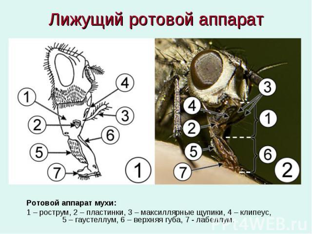 Лижущий ротовой аппарат Ротовой аппарат мухи: 1 – рострум, 2 – пластинки, 3 – максиллярные щупики, 4 – клипеус, 5 – гаустеллум, 6 – верхняя губа, 7 - лабеллум.
