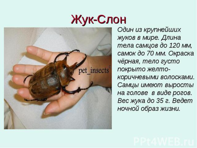 Жук-Слон Один из крупнейших жуков в мире. Длина тела самцов до 120 мм, самок до 70 мм. Окраска чёрная, тело густо покрыто желто-коричневыми волосками. Самцы имеют выросты на голове в виде рогов. Вес жука до 35 г. Ведет ночной образ жизни.