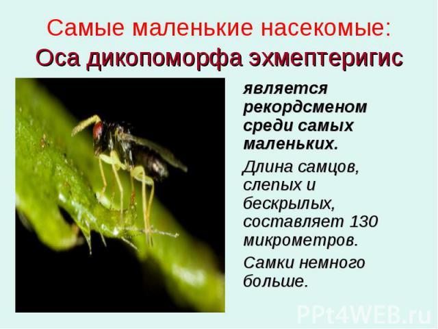 Самые маленькие насекомые: Оса дикопоморфа эхмептеригис является рекордсменом среди самых маленьких. Длина самцов, слепых и бескрылых, составляет 130 микрометров. Самки немного больше.