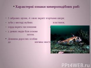 Характерні ознаки химероподібних риб: 5 зябрових щілин, 4 з яких вкриті згорткам
