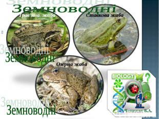 Озерна жаба Озерна жаба