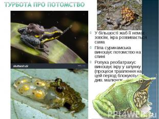 У більшості жаб її немає зовсім, ікра розвивається сама У більшості жаб її немає