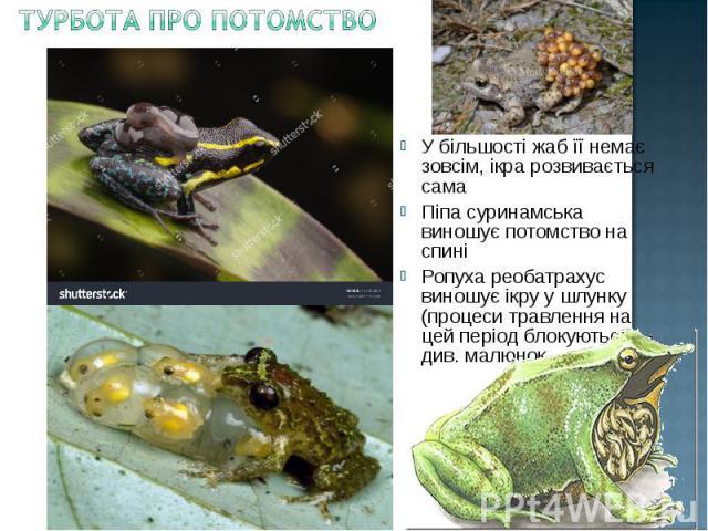 У більшості жаб її немає зовсім, ікра розвивається сама У більшості жаб її немає зовсім, ікра розвивається сама Піпа суринамська виношує потомство на спині Ропуха реобатрахус виношує ікру у шлунку (процеси травлення на цей період блокуються) – див. …