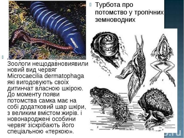 Амеріканскі та британські Зоологи нещодавновиявили новий вид червяг Microcaecilia dermatophaga які вигодовують своїх дитинчат власною шкірою. До моменту появи потомства самка має на собі додатковий шар шкіри, з великим вмістом жирів. і новонароджені…