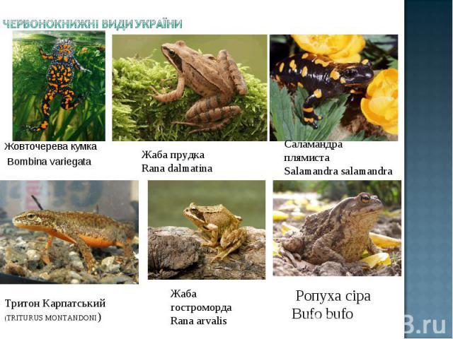 Жовточерева кумка Bombina variegata