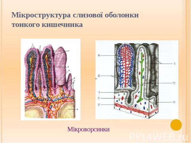 Мікроструктура слизової оболонки тонкого кишечника