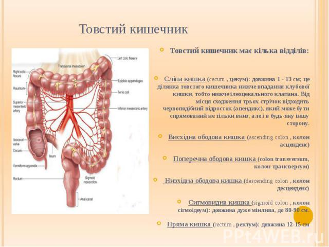 Товстий кишечник
