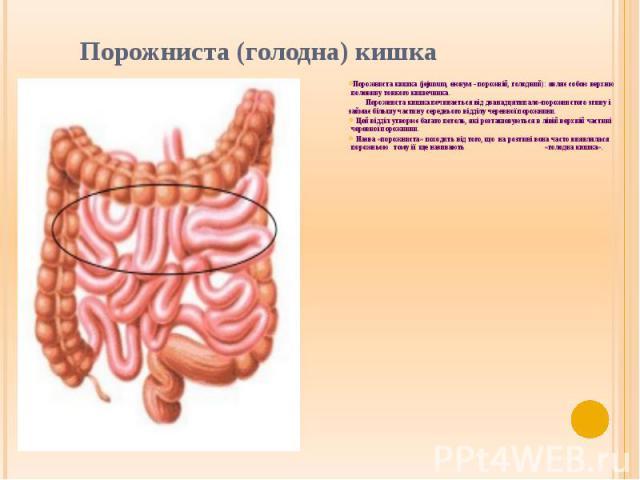 Порожниста (голодна) кишка Порожниста кишка (jejunum, еюнум - порожній, голодний): являє собою верхню половину тонкого кишечника. Порожниста кишка починається від дванадцятипало-порожнистого згину і займає більшу частину середнього відділу черевної …