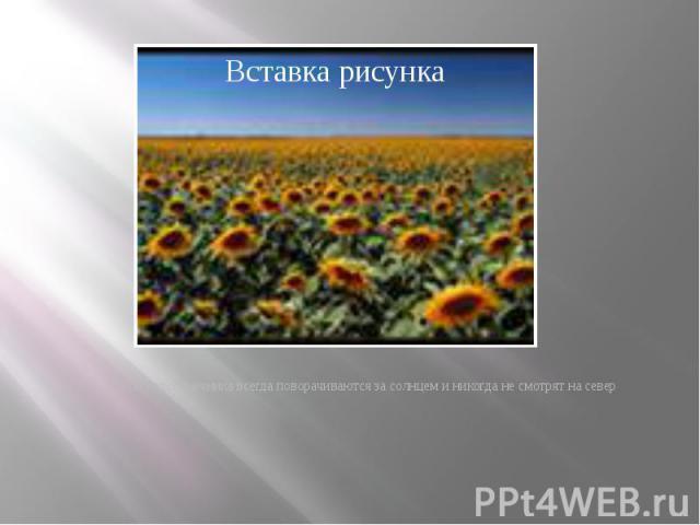 · цветы подсолнечника всегда поворачиваются за солнцем и никогда не смотрят на север · цветы подсолнечника всегда поворачиваются за солнцем и никогда не смотрят на север