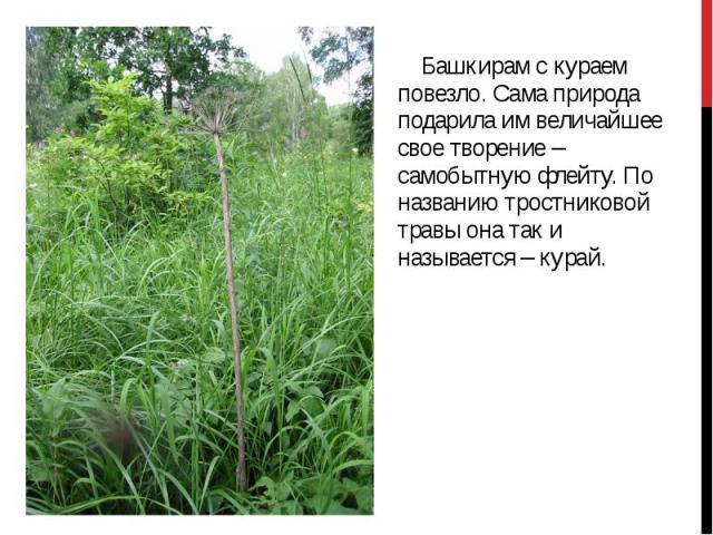 Башкирам с кураем повезло. Сама природа подарила им величайшее свое творение – самобытную флейту. По названию тростниковой травы она так и называется – курай. Башкирам с кураем повезло. Сама природа подарила им величайшее свое творение – самобытную …