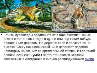 Жить мурашееды предпочитают в одиночестве. Ночью спят в сплетенном гнезде