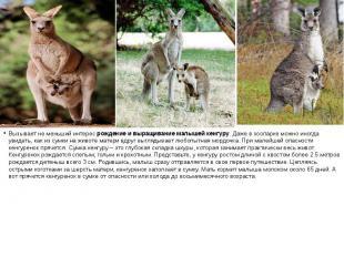 Вызывает не меньший интересрождение и выращивание малышей кенгуру. Даже в