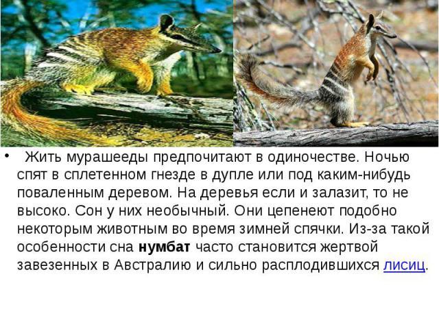 Жить мурашееды предпочитают в одиночестве. Ночью спят в сплетенном гнезде в дупле или под каким-нибудь поваленным деревом. На деревья если и залазит, то не высоко. Сон у них необычный. Они цепенеют подобно некоторым животным во время зимней с…