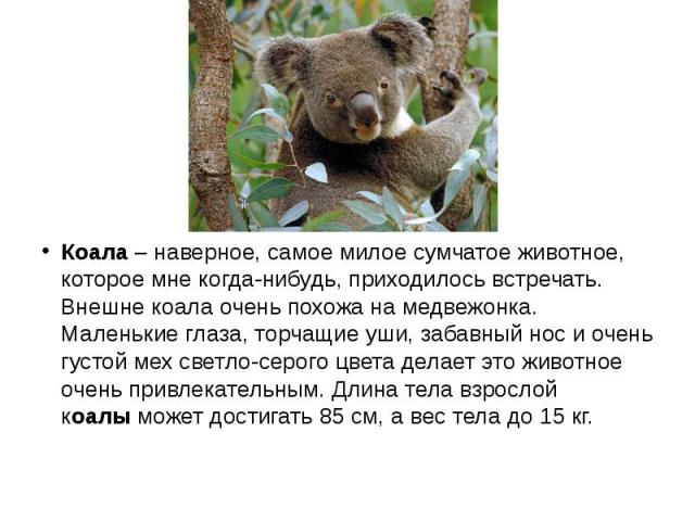 Коала– наверное, самое милое сумчатое животное, которое мне когда-нибудь, приходилось встречать. Внешне коала очень похожа на медвежонка. Маленькие глаза, торчащие уши, забавный нос и очень густой мех светло-серого цвета делает это животное оч…