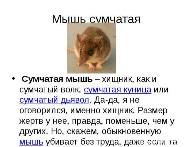 Мышь сумчатая Сумчатая мышь– хищник, как и сумчатый волк,сумчатая куницаилисумчатый дьявол. Да-да, я не оговорился, именно хищник. Размер жертв у нее, правда, поменьше, чем у других. Но, скажем, обыкновеннуюмышь&n…