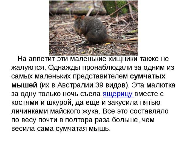 На аппетит эти маленькие хищники также не жалуются. Однажды пронаблюдали за одним из самых маленьких представителемсумчатых мышей(их в Австралии 39 видов). Эта малютка за одну только ночь съелаящерицу вместе с костями …