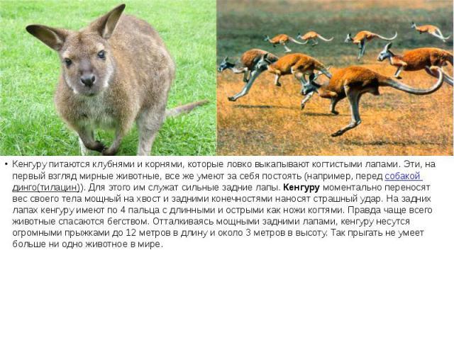 Кенгуру питаются клубнями и корнями, которые ловко выкапывают когтистыми лапами. Эти, на первый взгляд мирные животные, все же умеют за себя постоять (например, передсобакой динго(тилацин)). Для этого им служат сильные задние лапы. Кенгуру&nbs…
