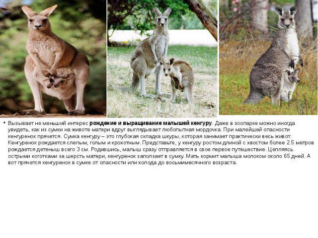 Вызывает не меньший интересрождение и выращивание малышей кенгуру. Даже в зоопарке можно иногда увидеть, как из сумки на животе матери вдруг выглядывает любопытная мордочка. При малейшей опасности кенгуренок прячется. Сумка кенгуру – это глубо…