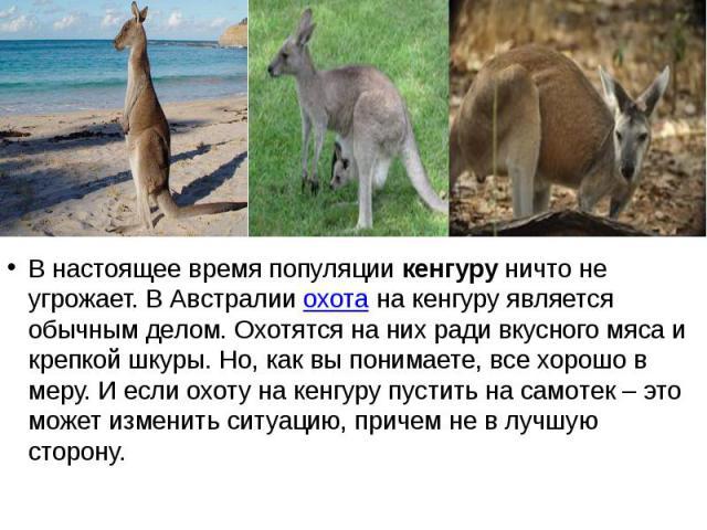 В настоящее время популяциикенгуруничто не угрожает. В Австралииохотана кенгуру является обычным делом. Охотятся на них ради вкусного мяса и крепкой шкуры. Но, как вы понимаете, все хорошо в меру. И если охоту на кенгуру пуст…