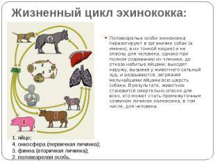 Жизненный цикл эхинококка: Половозрелые особи эхинококка паразитируют в организм