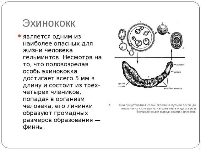 Эхинококк является одним из наиболее опасных для жизни человека гельминтов. Несмотря на то, что половозрелая особь эхинококка достигает всего 5 мм в длину и состоит из трех-четырех члеников, попадая в организм человека, его личинки образуют громадны…