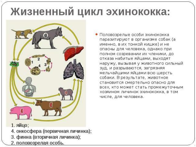 Жизненный цикл эхинококка: Половозрелые особи эхинококка паразитируют в организме собак (а именно, в их тонкой кишке) и не опасны для человека, однако при полном созревании их членики, до отказа набитые яйцами, выходят наружу, вызывая у животного си…