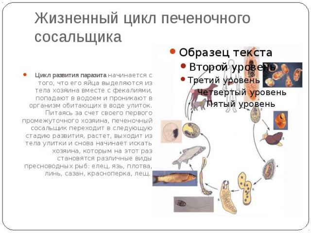 Жизненный цикл печеночного сосальщика Цикл развития паразита начинается с того, что его яйца выделяются из тела хозяина вместе с фекалиями, попадают в водоем и проникают в организм обитающих в воде улиток. Питаясь за счет своего первого промежуточно…