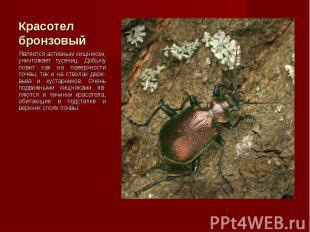 Является активным хищником, уничтожает гусениц. Добычу ловит как на поверхности