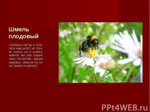 Собирать нектар и полу-чать мед могут не толь-ко пчелы, но и шмели, именно им он