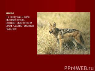 На охоту как и волк выходит ночью, оглашая окрестности воем. Охотно питается пад