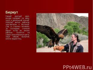 Самый крупный орел, иногда нападает на овец, телят и детенышей оленей. Избегает