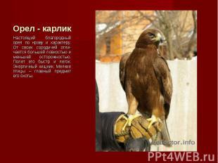 Настоящий благородный орел по нраву и характеру. От своих сородичей отли-чается