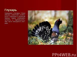 Названием «глухарь» птица обязана известной особен-ности токующего в брачный пер