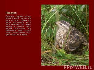 Перепела считают косми-ческой птичкой, так как она одна из всего отряда ку-риных