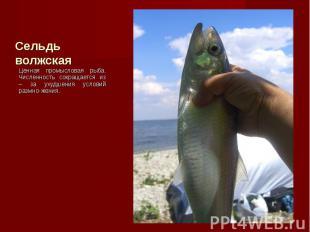 Ценная промысловая рыба. Численность сокращается из – за ухудшения условий размн