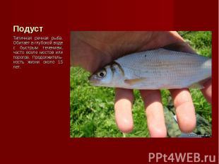 Типичная речная рыба. Обитает в глубокой воде с быстрым течением, часто возле мо