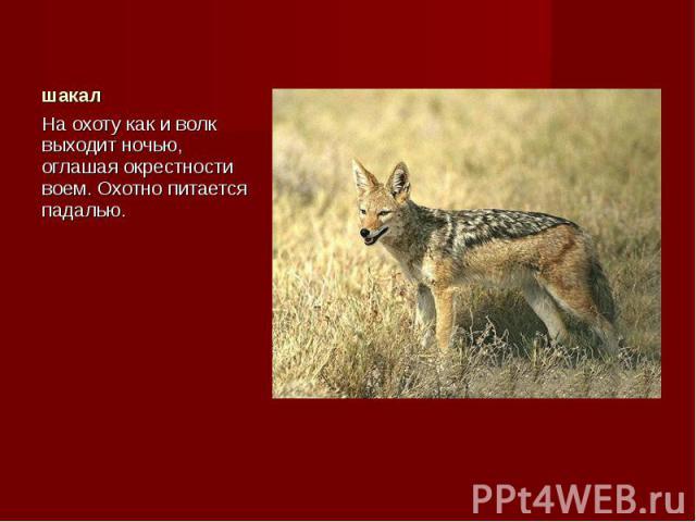На охоту как и волк выходит ночью, оглашая окрестности воем. Охотно питается падалью. На охоту как и волк выходит ночью, оглашая окрестности воем. Охотно питается падалью.